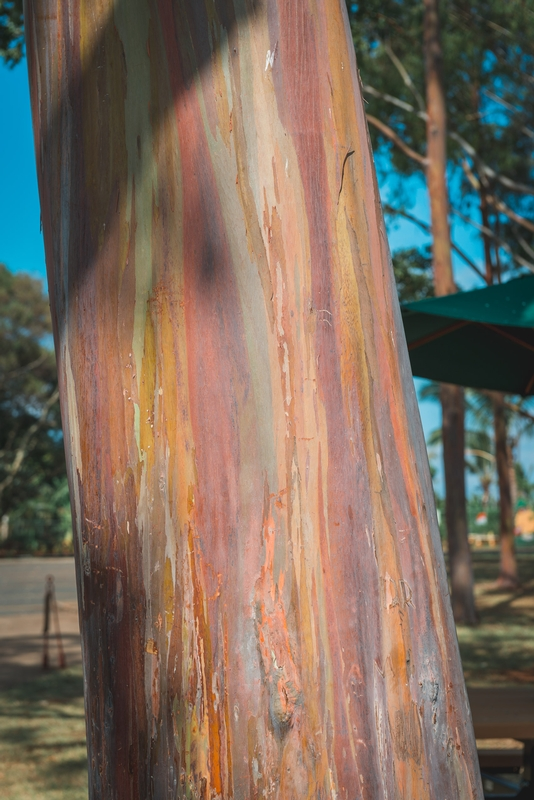 The Rainbow Birch