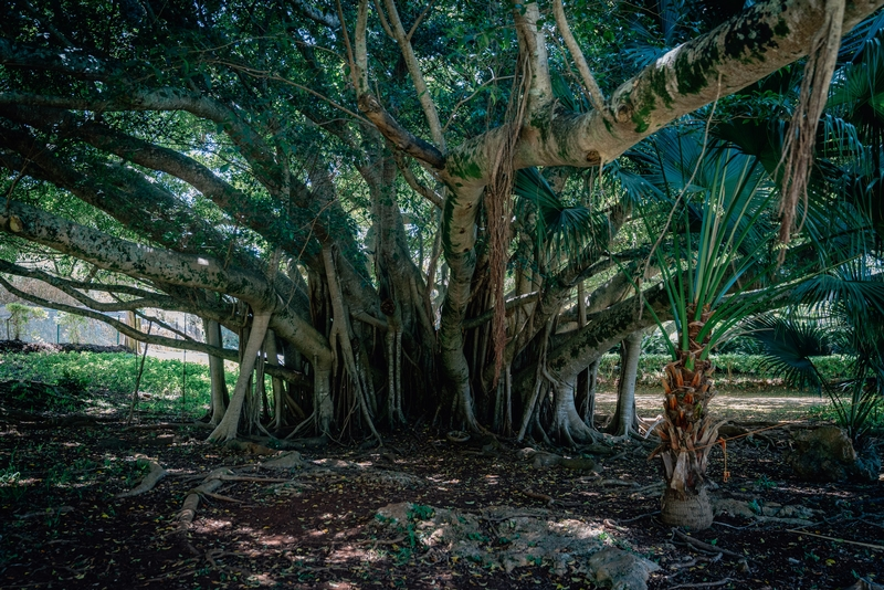 The Banyan Tree Outside the Caves